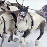 驯鹿森林图片集Arctic{摄影集9#}驯鹿牧民节的盛况图记的图片 第2张