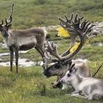 驯鹿森林图片集Norway{摄影集13#}同一镜头下的两个驯鹿民族的图片 第5张