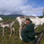 驯鹿森林图片集Norway{摄影集13#}同一镜头下的两个驯鹿民族的图片 第8张