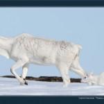 驯鹿森林图片集Nenets{摄影集12#}北极边城的传统与现代的图片 第16张