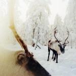 驯鹿森林图片集reindeer{摄影集16#}那趟西伯利亚的意外之旅的图片 第7张